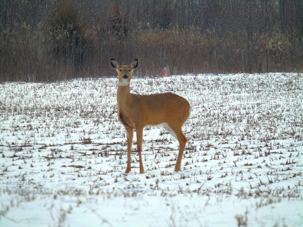 Photo in Animal #whitetail deer
