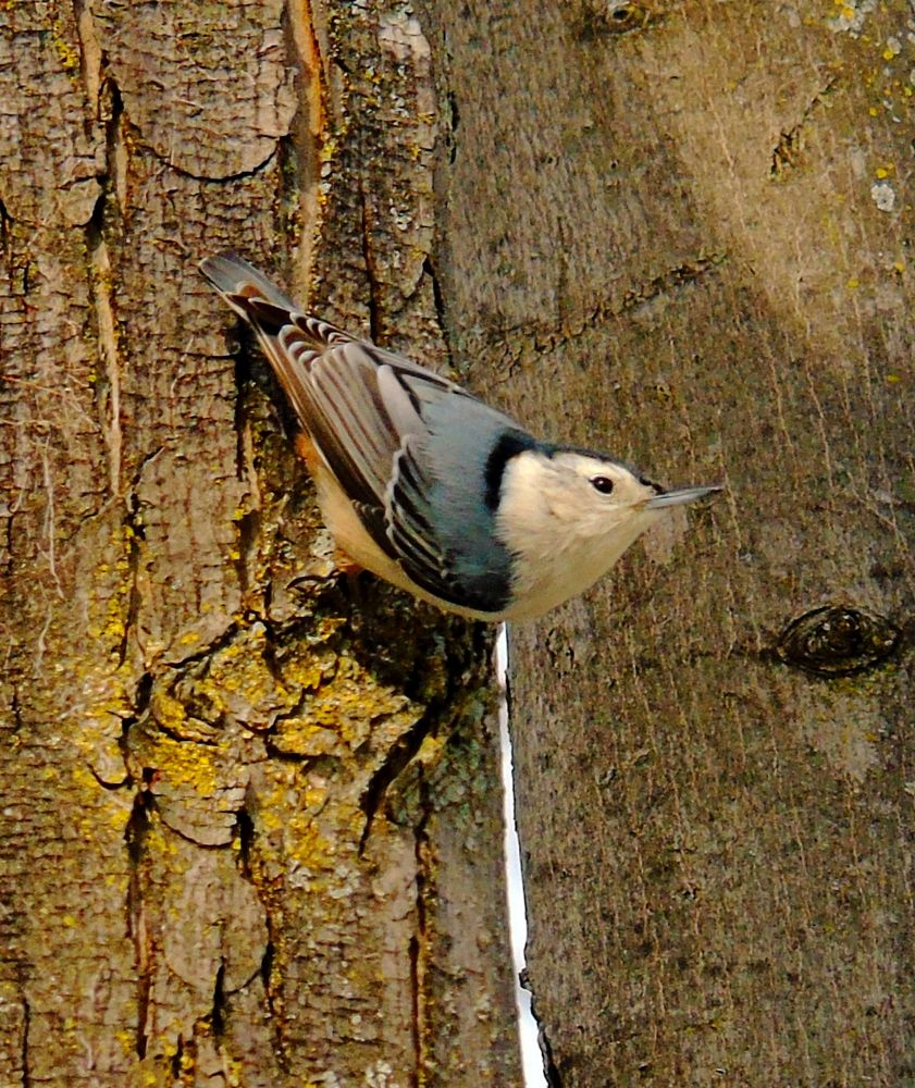 Photo in Animal #nuthatch
