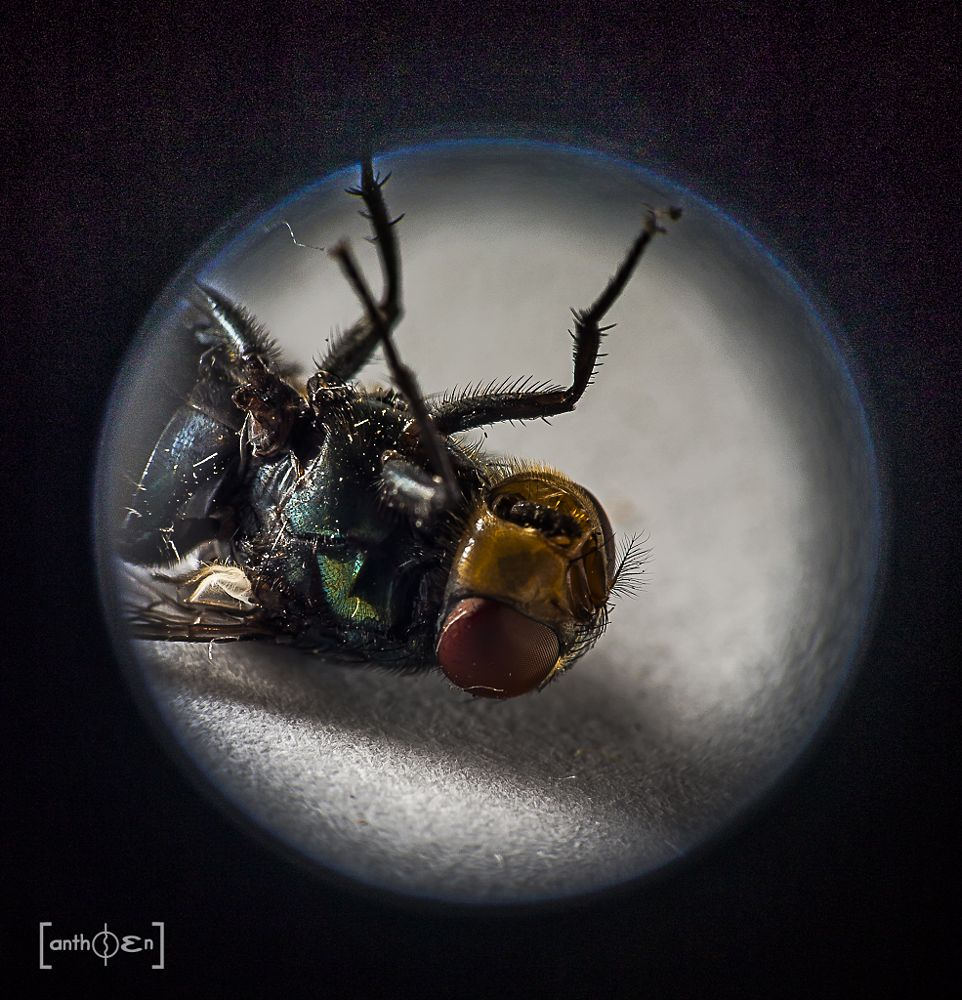 Photo in Macro #flies #moving_on #eos70d #anthoen_luciferano #supermacro