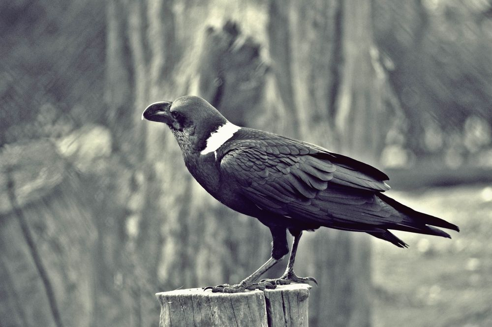 Photo in Animal #raven #rabe #zoo #zoo dresden