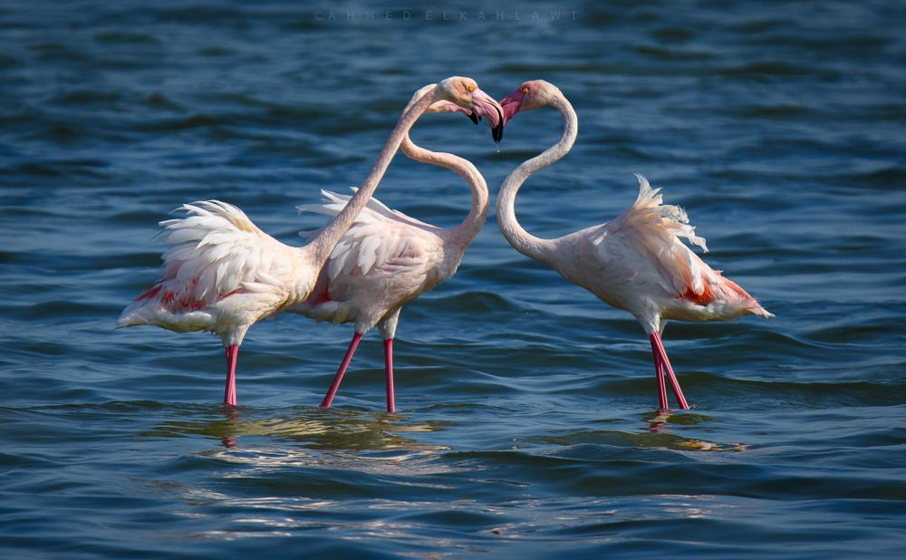 Photo in Animal #love #heart #nature #outdoor #flamingo #birds #wild #wildlife #amazing