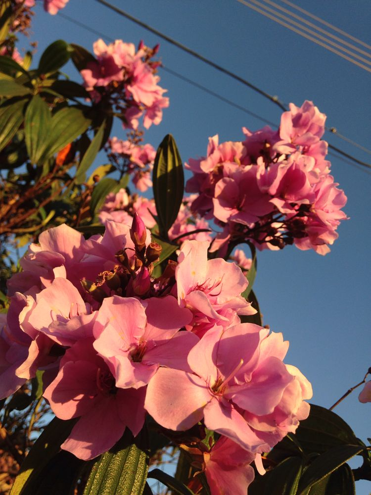 Photo in Nature #quaresmeira #brasil #riopreto #flores