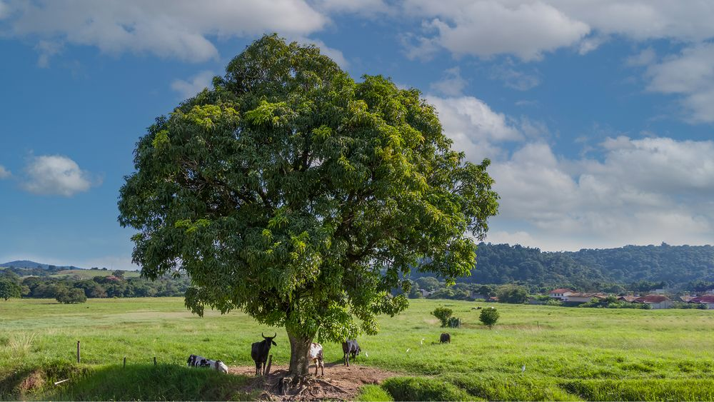 Photo in Rural #tree #cow #green #rural #landscape #animals #sky