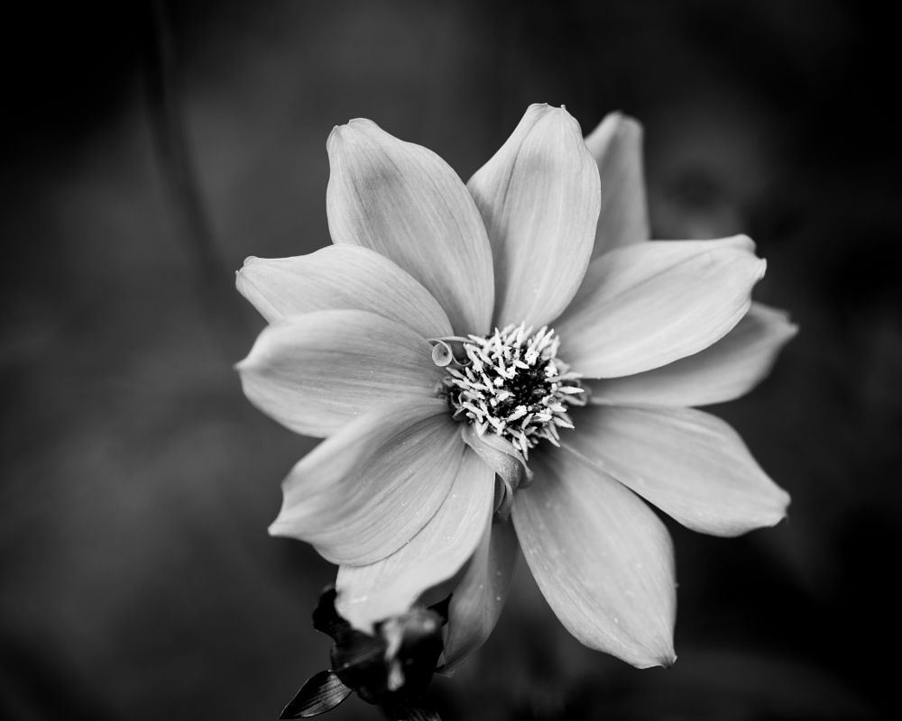 Photo in Black and White #flower #rose #light #black #white #flowers #nature #macro #closeup