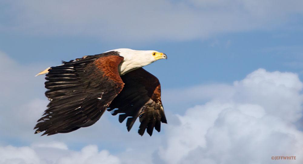 Photo in Animal #fish eagle #eagle #inflight
