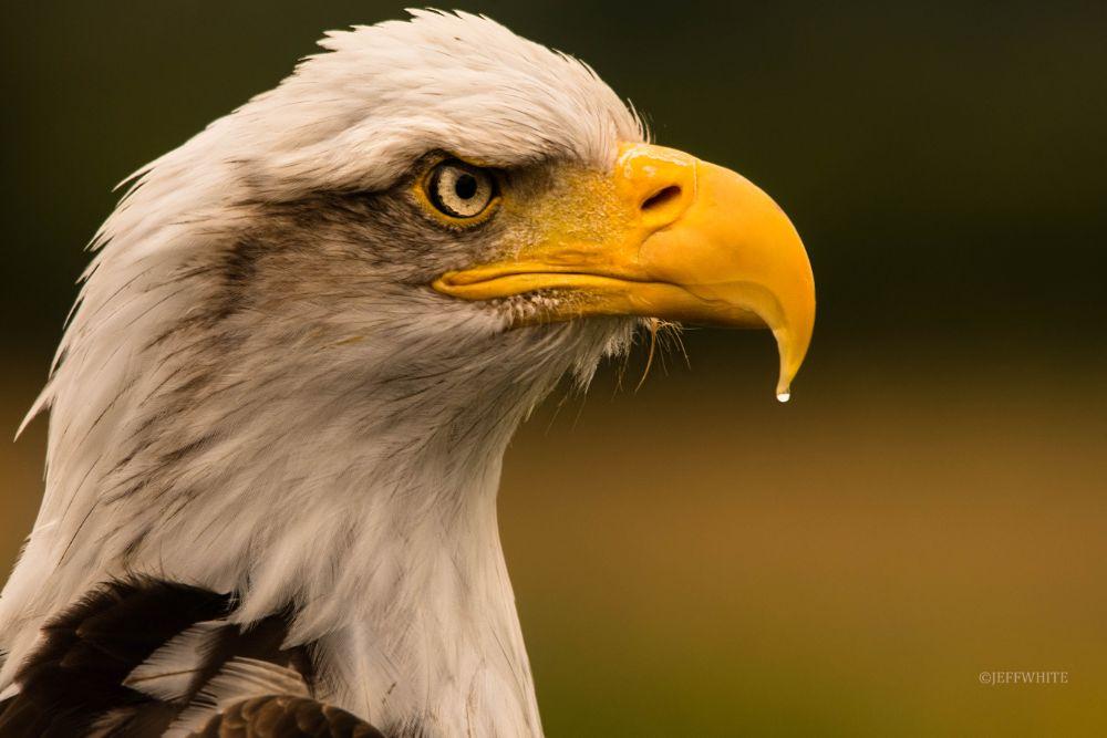 Photo in Animal #bald eagle #eagle #portrait #bird #preditor