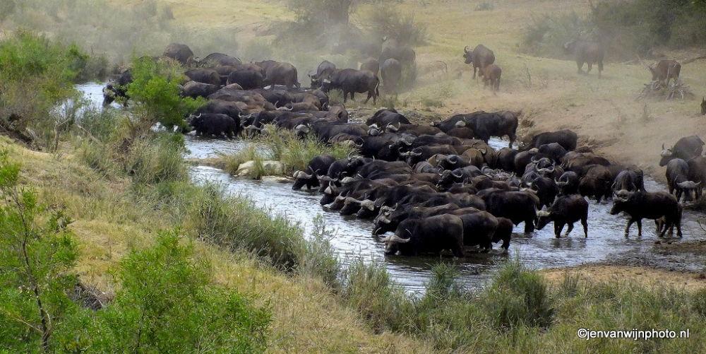 Photo in Random #buffalo #kruger #kruger national park #south africa #river #water