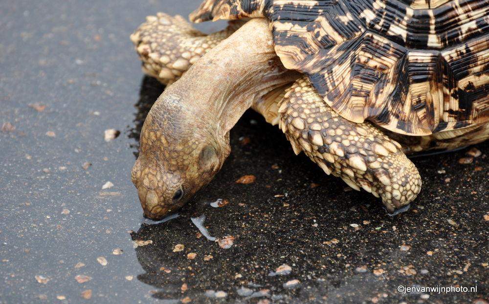 Photo in Random #turtoise #street #streetlife #water #rain #drinking #south africa #saving animals
