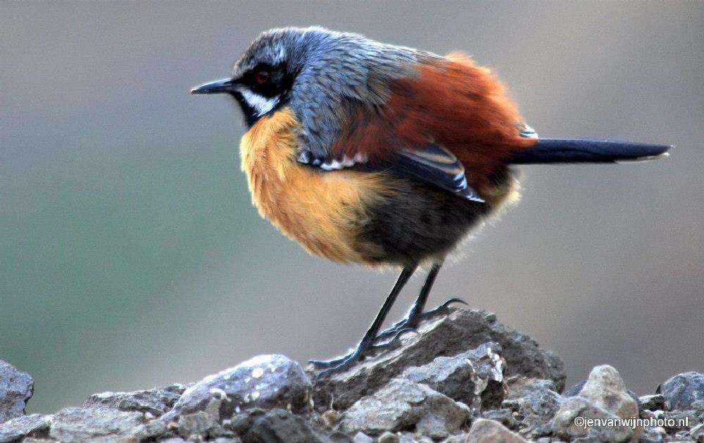 Photo in Animal #bird #orange rock jumper #lesotho #africa #birdlife