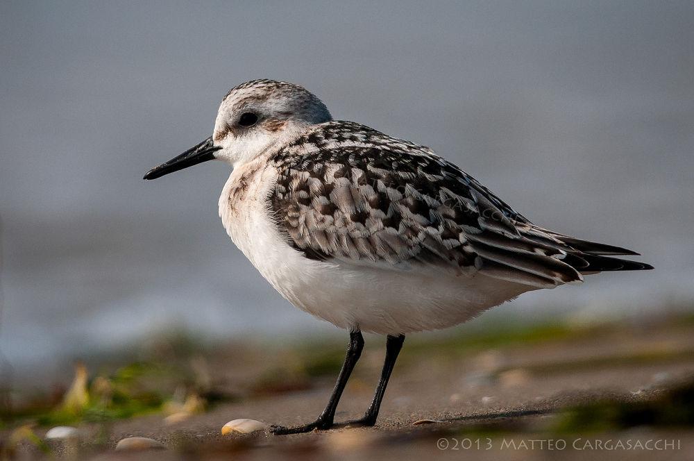 Photo in Random #calidris alba #senderling #piovanello tridattilo #bird #birdwatching #wildlife #valle vecchia #brussa #venezia #venice #veneto #italia #italy #beach #spiaggia #nature #natura