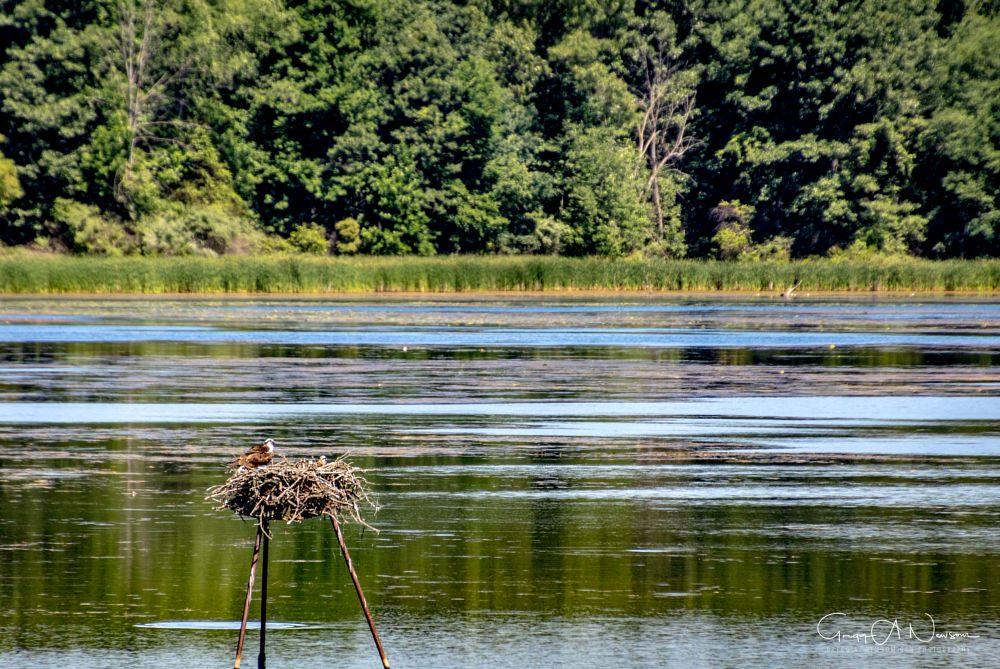 Photo in Nature #osprey #mitten #6.16