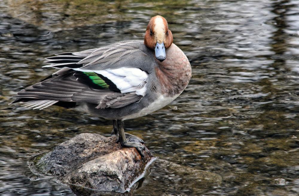 Photo in Random #duck #bird #water #rock