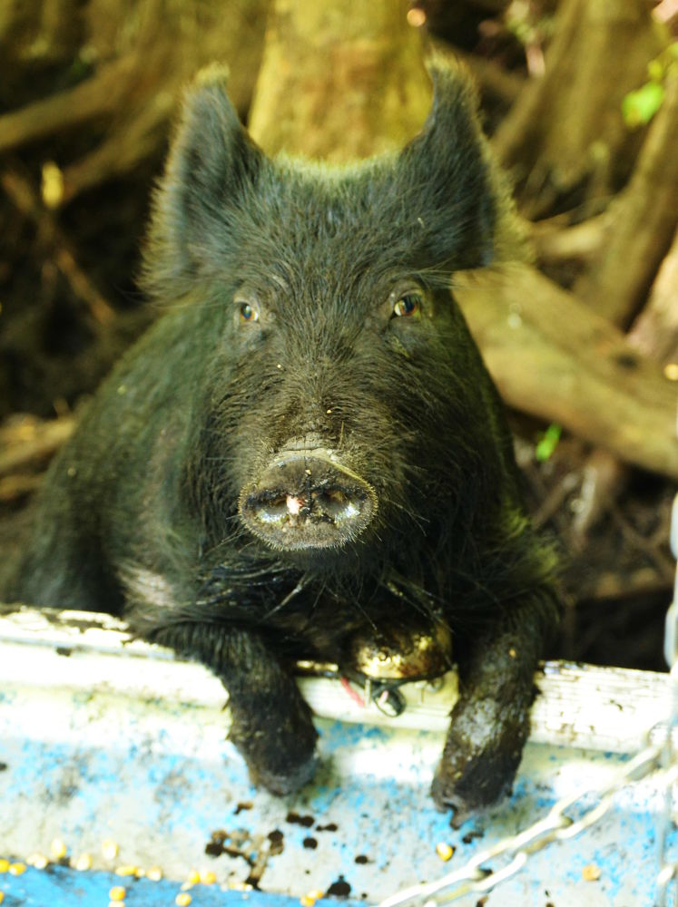Photo in Animal #wilma #pig #boar #wild