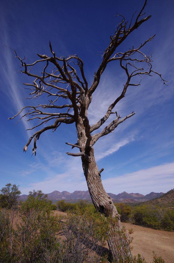 Photo in Nature #south australia #wilpena pound #tree