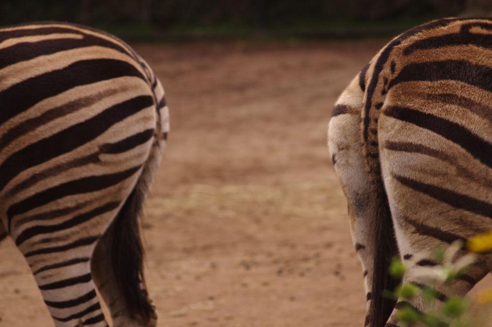 Photo in Animal #melbourne zoo #melbourne #zebra #zoo
