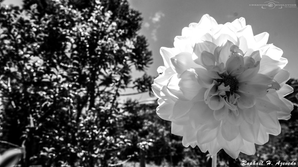 Photo in Black and White #flor #black and white