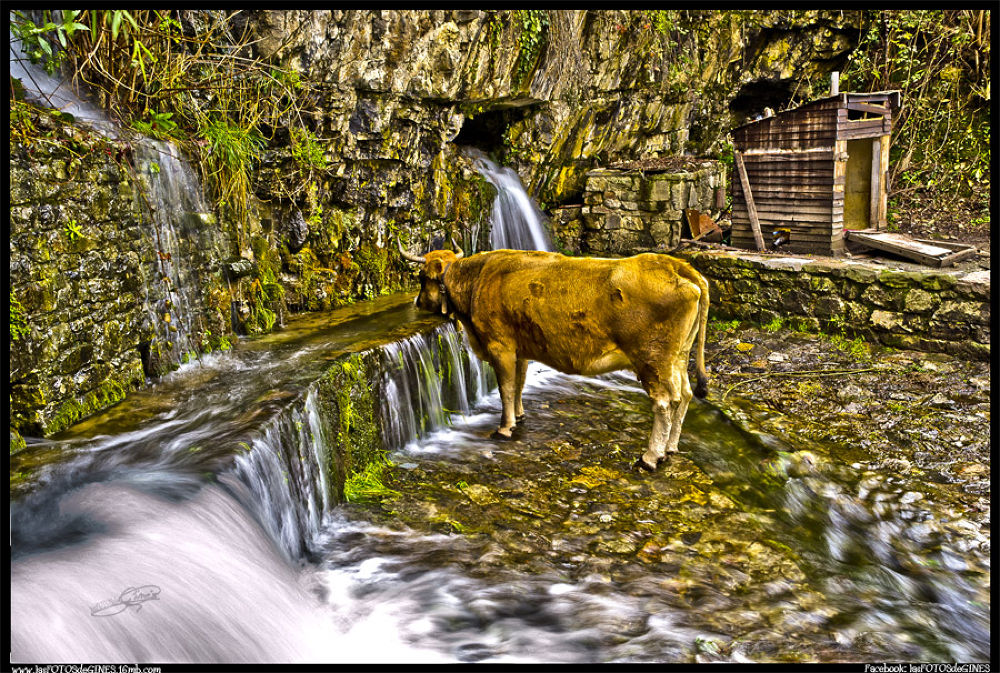Photo in Animal #vaca #agua #asturias #lasfotosdegines