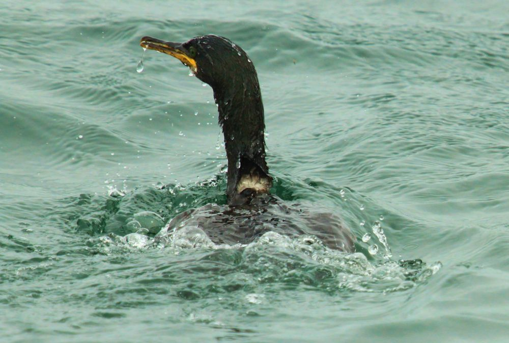 Photo in Nature #cormorant #sea #puffinn island anglesey #wales #puffin island #anglesey