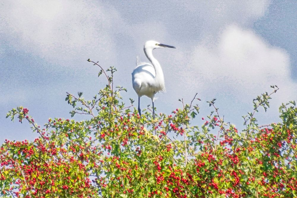 Photo in Nature #little egret #berries #tree #perched #hdr