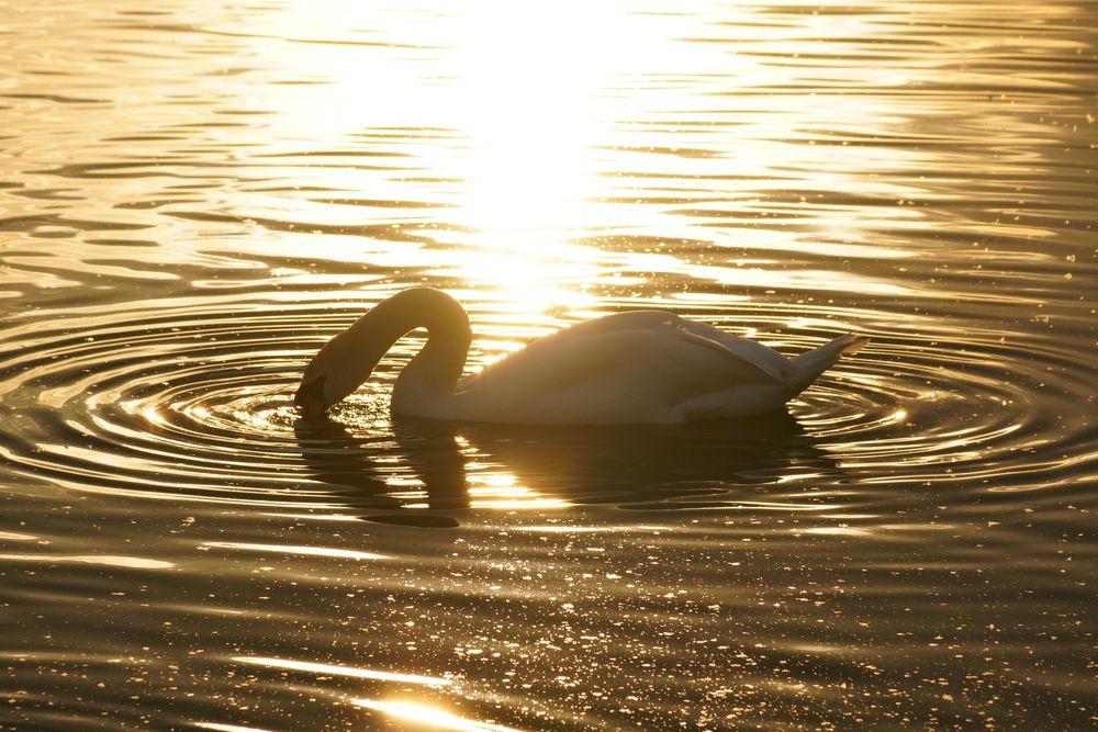 Photo in Animal #swan #ripple #gold