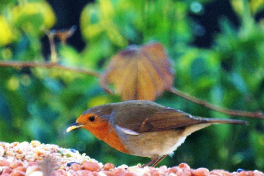Photo in Nature #robin #robin redbreast #feeding #bird