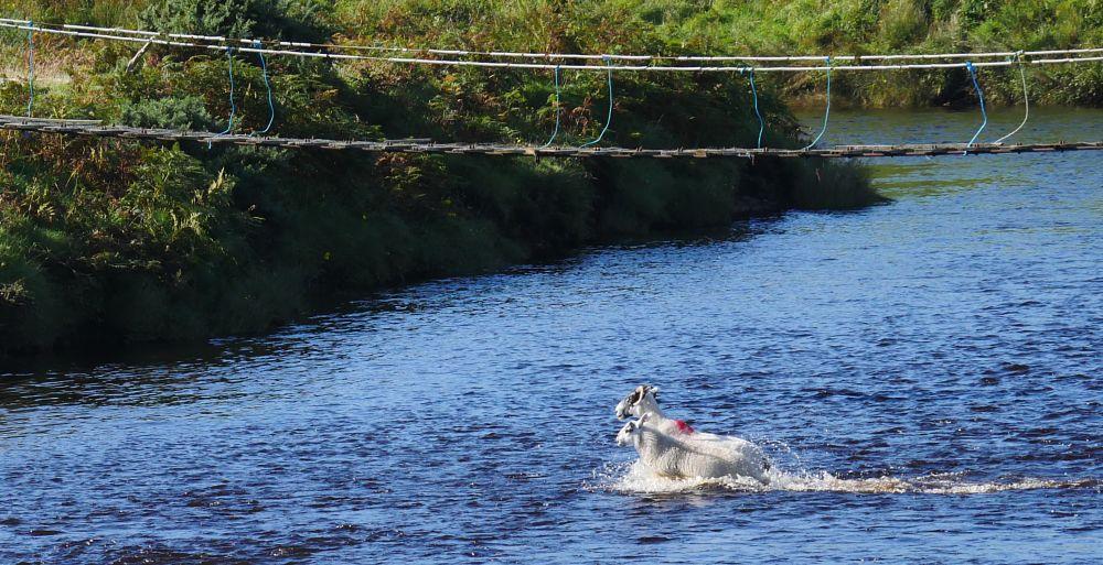 Photo in Landscape #laggan #river laggan #laggan estate #sheep #sheep in water #islay #scotland