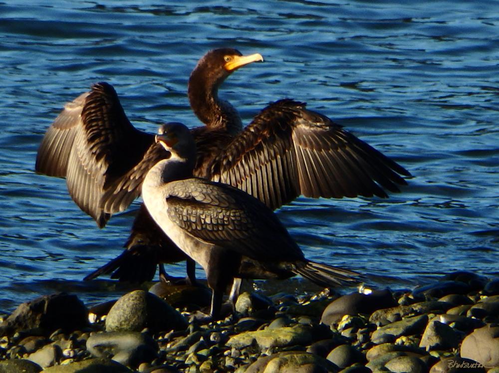 Photo in Animal #rogue river #cormorant #bird #gold beach #oregon #oregon coast