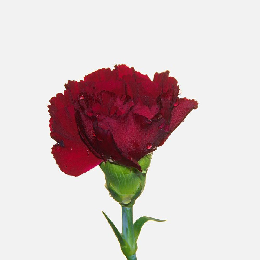 Photo in Still Life #rose #flower #white