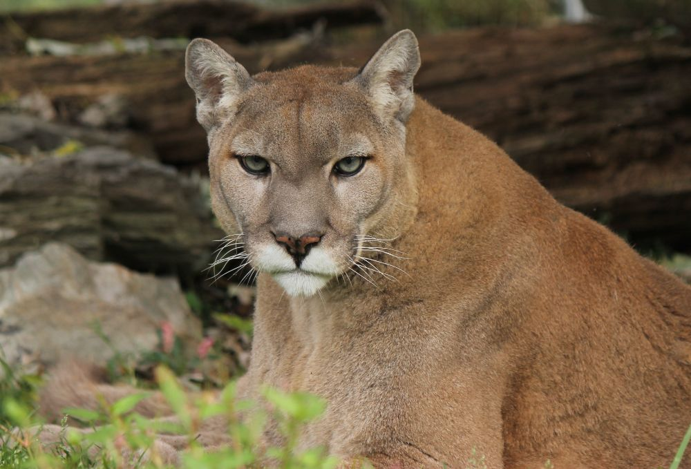 Photo in Architecture #cougar #panther #big cat #animal #cat
