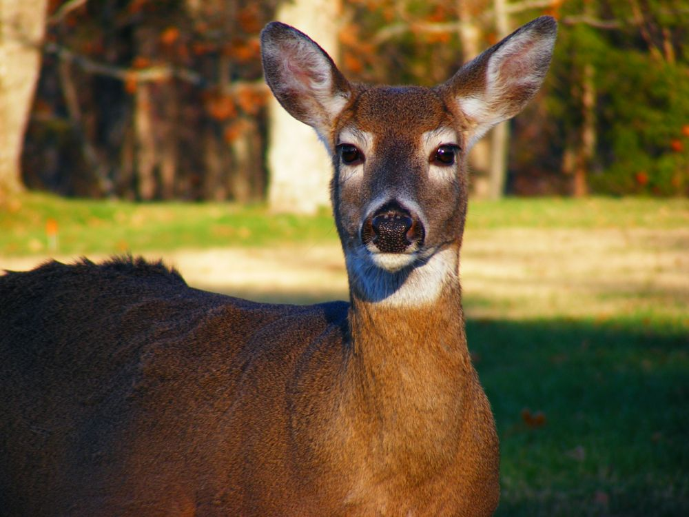 Photo in Animal #doe #deer #white tail