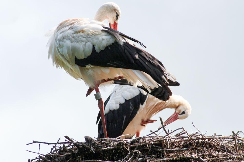 Photo in Animal #ooievaars #stork