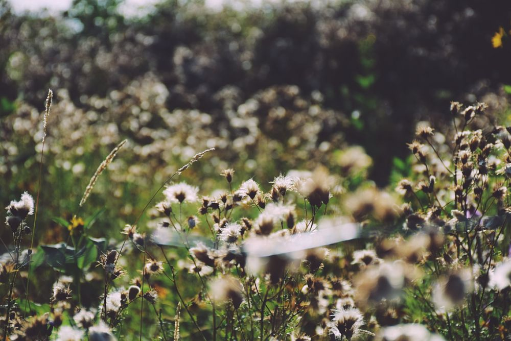 Photo in Nature #field #nature #golden hour #plants #beautiful #cotton