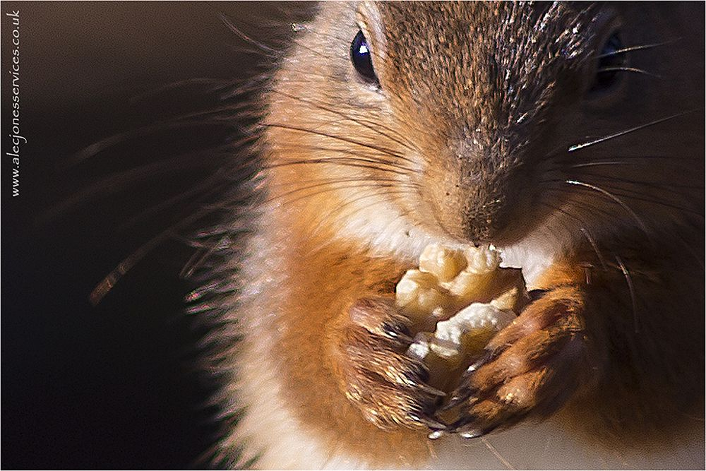 Photo in Animal #red squirrel #nuorthumberland #nuts