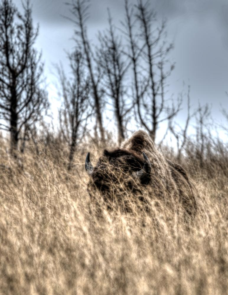Photo in Nature #buffalo #north dakota #sky #wildlife #grass