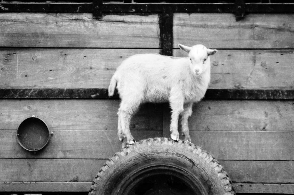 Photo in Black and White #ziege #schwarzweis #blackwhite #cromli
