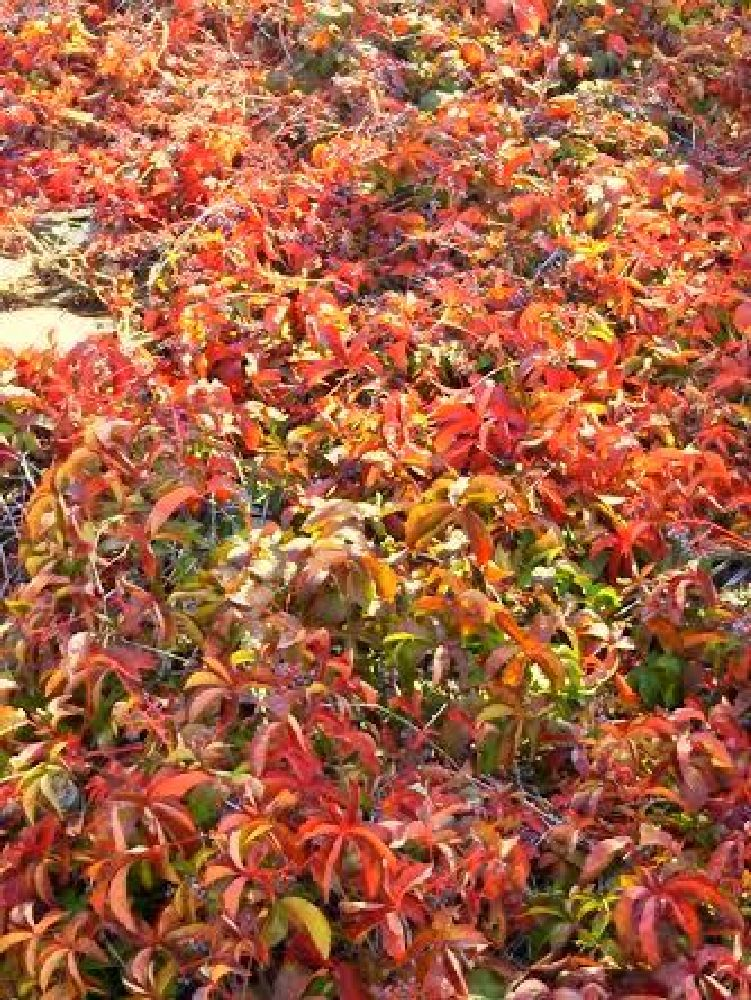 Photo in Nature #fall season at bodrum #red leaves of american ivies