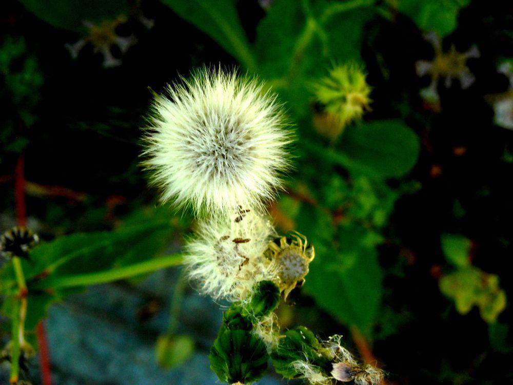Photo in Macro #dandellion #from #my garden #bitez #bodrum #mugla #turkey #close up