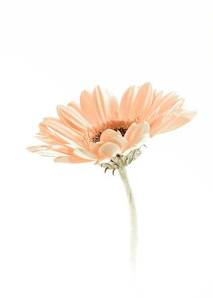Photo in Still Life #flower #gerbia