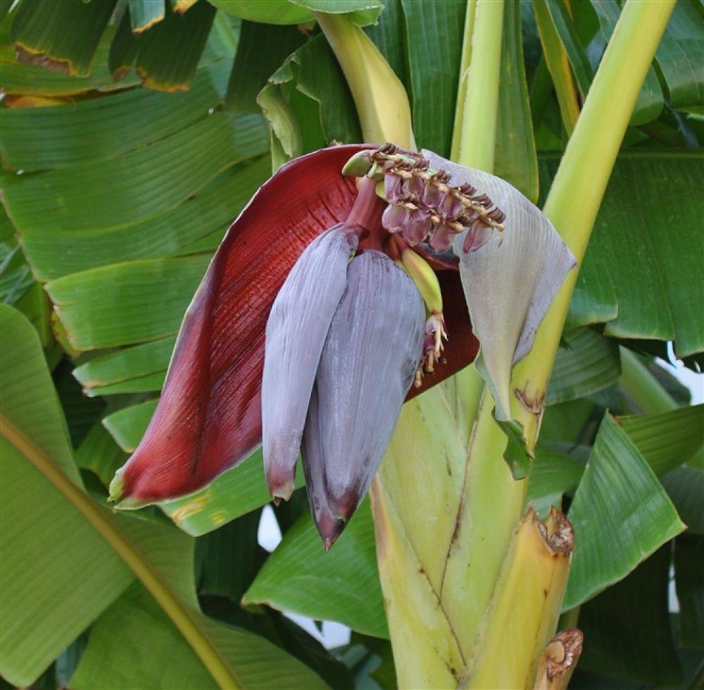 Photo in Random #bananaflower