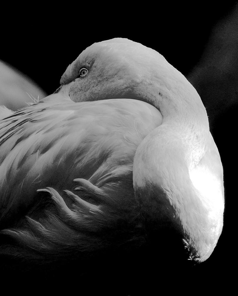 Photo in Black and White #b&w #flamingo #sleep