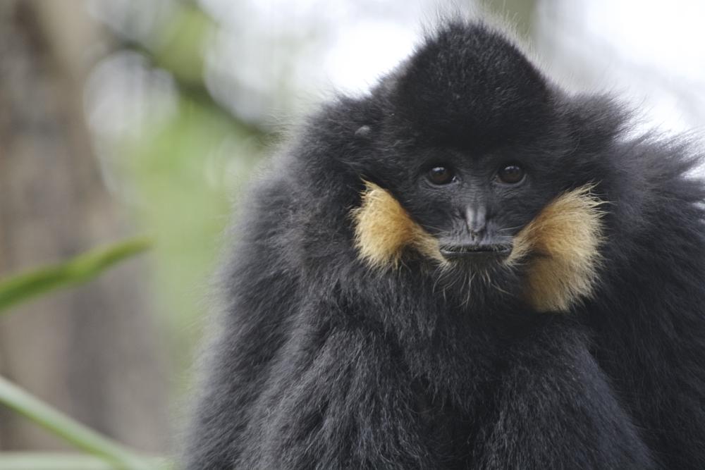 Photo in Animal #gibbon #primate #monkey