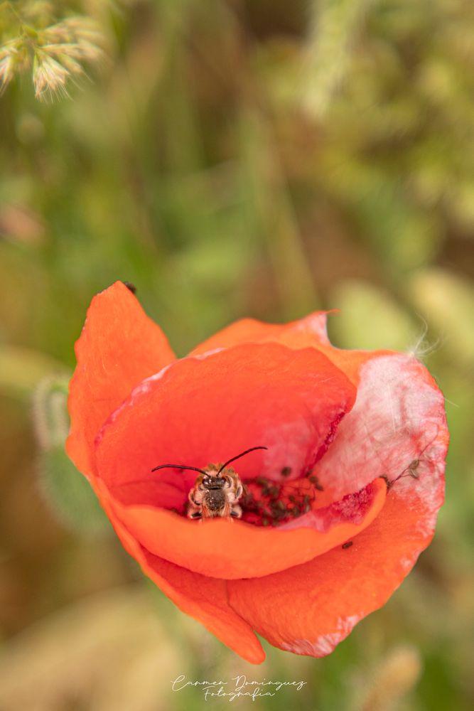 Photo in Random #abeja #amapola #naturaleza #granada #ogijares #canon 6d mark ii #confinamiento #primavera #mayo 2020