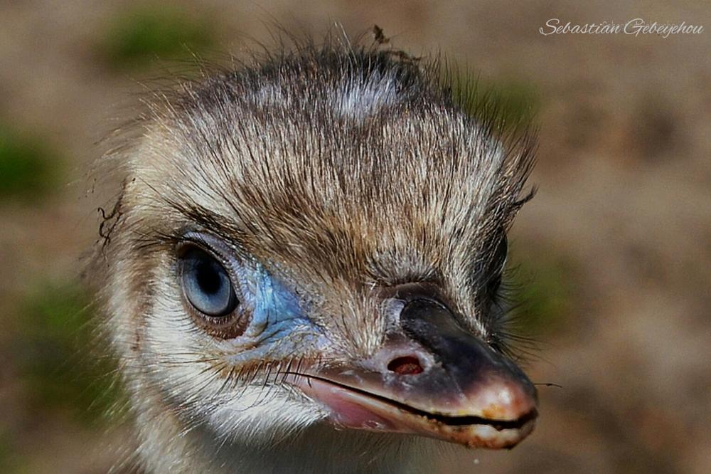 Photo in Animal #vogel #küken #nandu