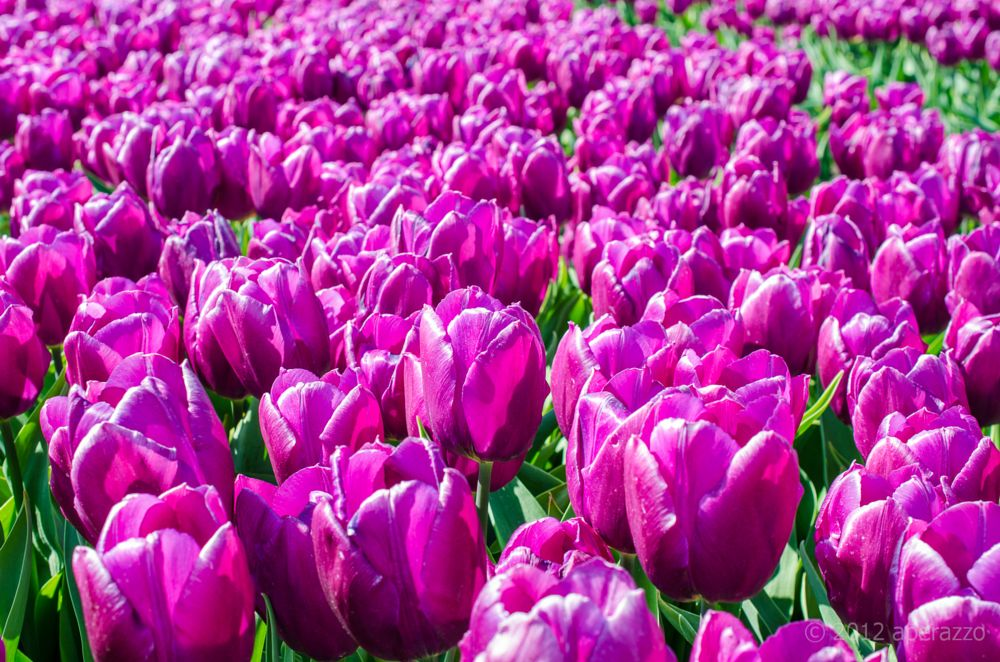 Photo in Nature #tulips #holland #spring