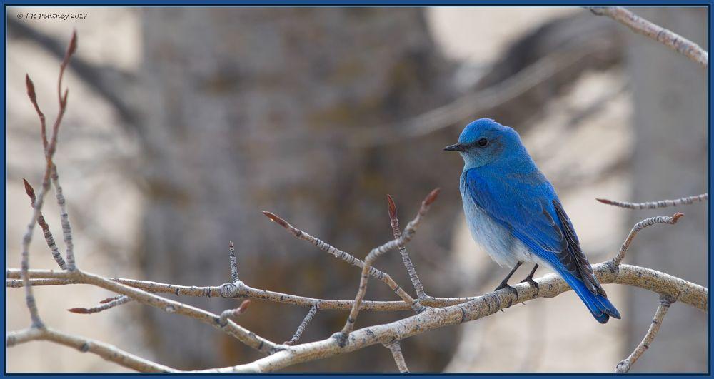 Photo in Animal #bluebird #mountain bluebird #birds #calgary #alberta #canada #canon #canon 6d #wildlife #nature