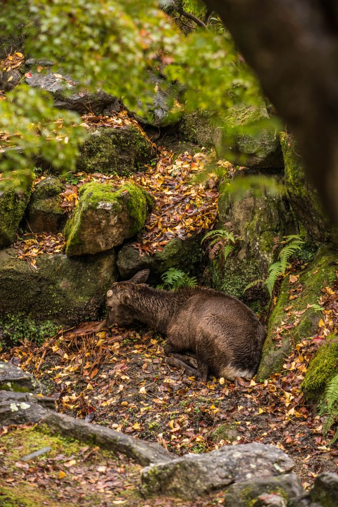 Photo in Animal #deer #rain #wet #autumn #nara #japan #sony #a99