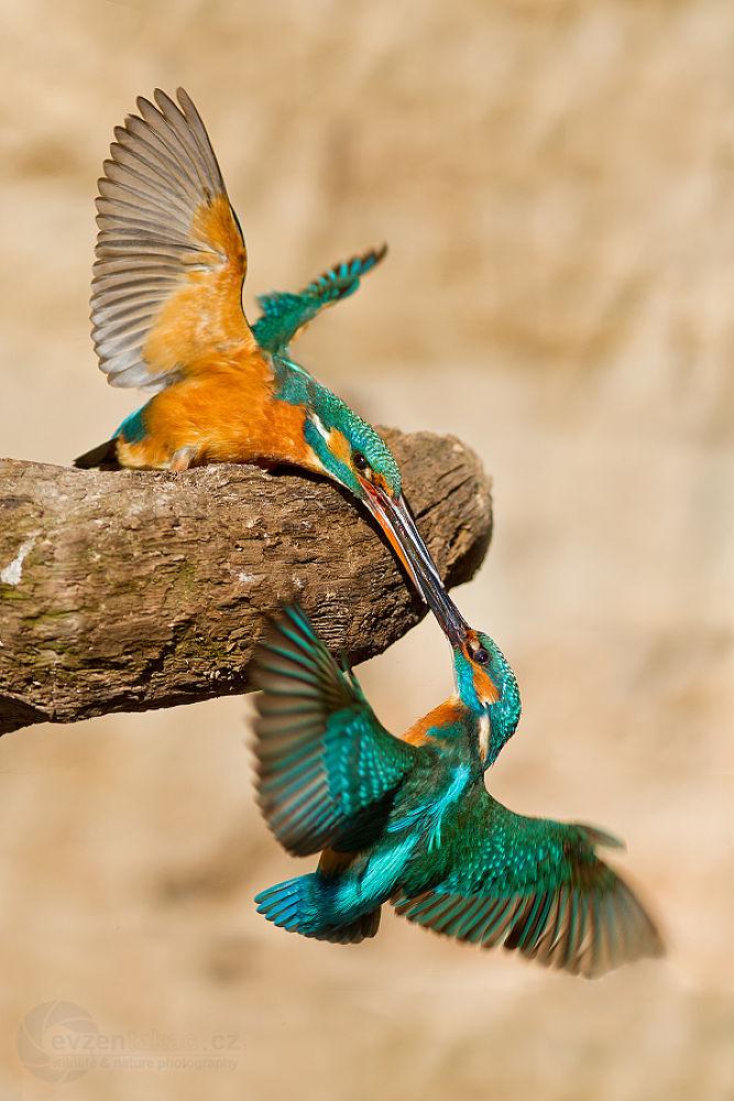 Photo in Nature #nature #birds #wildlife #kingfisher #mating #czech republic #transfer fish