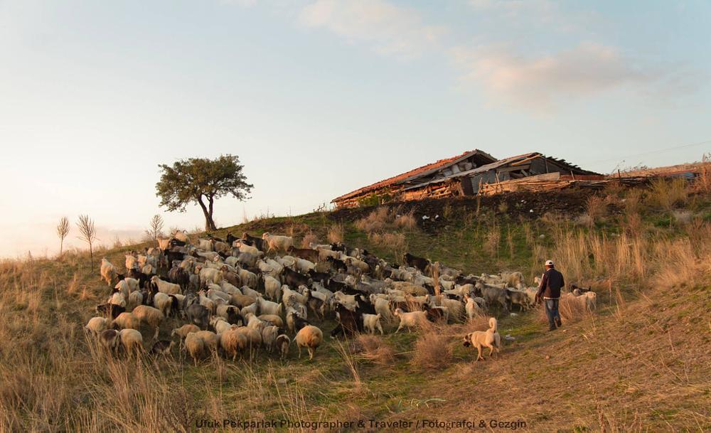 Photo in Animal #goat #shepherd #steppe #kangal dog #sheepdog #single tree #sunset #canon eos 7d #canon