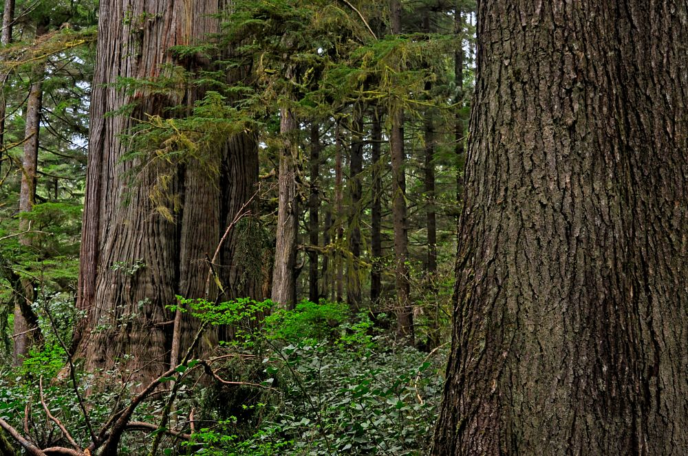 Photo in Nature #trees #forest #hiking #vancouver island #random