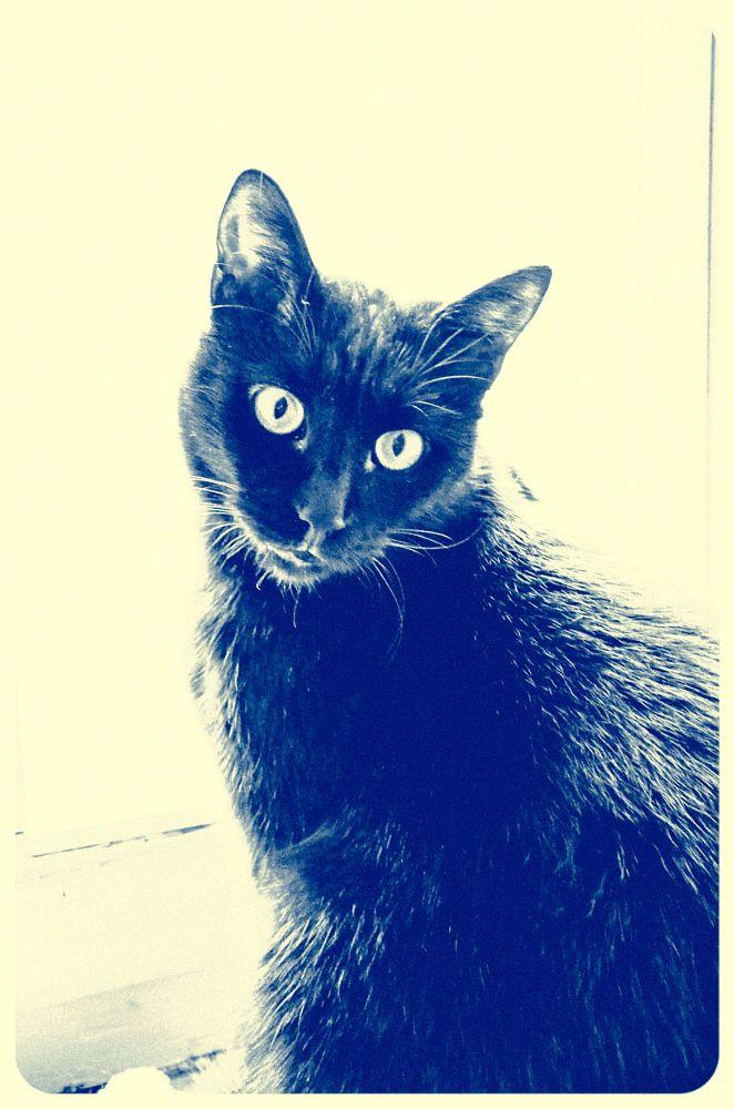 Photo in Animal #black #cat #nikon d5100 #animal